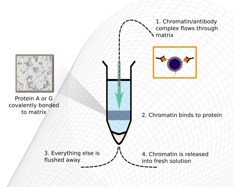 fig. 2: Chromatrap® kits use spin columns which contain discs of an inert, porous polymer to which protein A or G has been covalently attached. During an assay, the chromatin/antibody complex is selectively retained by the disc. Flushing with three buffers and an elution step are all that is required to obtain the selectively enriched DNA.