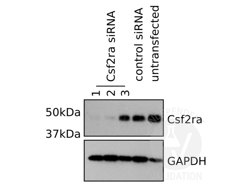 Western Blotting validation image for anti-Colony Stimulating Factor 2 Receptor, Alpha, Low-Affinity (Granulocyte-Macrophage) (CSF2RA) (Center) antibody (ABIN2705734)