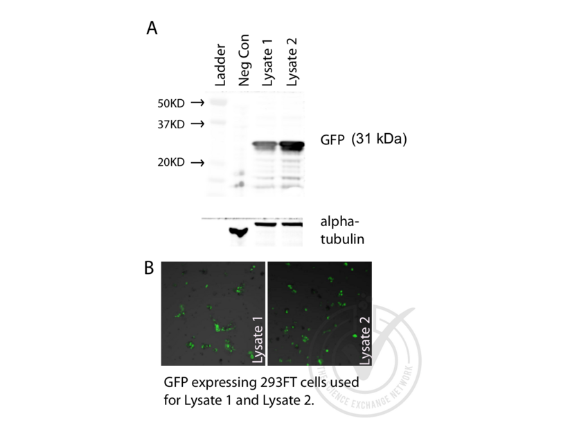 gfp protein Green fluorescent protein (gfp) antibody chickens were immunized with recombinant gfp protein after repeated injections, immune eggs were collected from the hens, and the igy fractions were purified from the yolks.