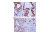 Immunohistochemistry validation image for anti-Transmembrane Protein 173 (TMEM173) (AA 284-316), (C-Term) antibody (ABIN3043423)