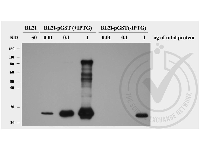 Western Blotting validation image for anti-GST-Tag antibody (ABIN3045984)