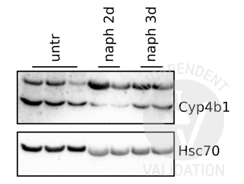 Western Blotting validation image for anti-Cytochrome P450, Family 4, Subfamily B, Polypeptide 1 (CYP4B1) (N-Term) antibody (ABIN2777006)