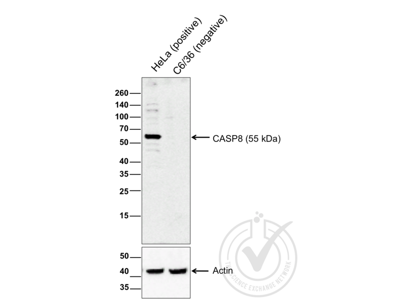 Western Blotting validation image for anti-Caspase 8, Apoptosis-Related Cysteine Peptidase (CASP8) (AA 430-482) antibody (ABIN724205)