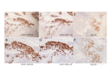 Immunohistochemistry validation image for anti-Colony Stimulating Factor 1 Receptor (CSF1R) (AA 694-744), (pTyr723) antibody (ABIN683788)