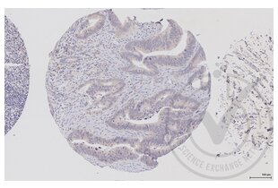 Immunohistochemistry validation image for anti-V-Raf-1 Murine Leukemia Viral Oncogene Homolog 1 (RAF1) (AA 25-60) antibody (ABIN733208)