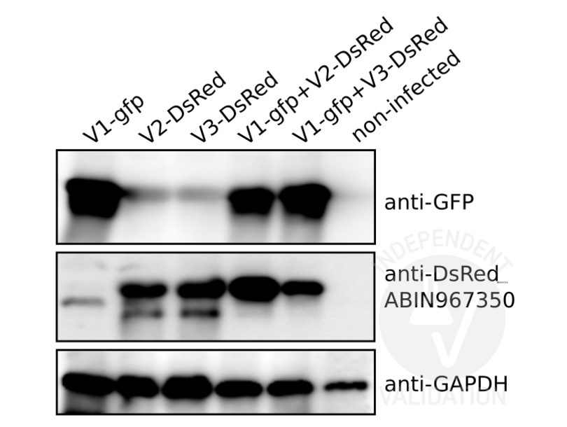 Western Blotting validation image for anti-Red Fluorescent Protein (DsRed) antibody (ABIN967350)
