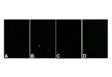 Immunohistochemistry validation image for anti-Caspase 3, Apoptosis-Related Cysteine Peptidase (CASP3) (Cleavage Site), (N-Term), (active) antibody (ABIN222873)