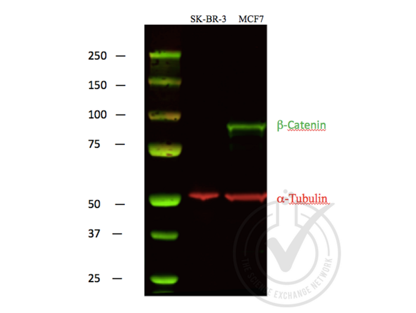 Western Blotting validation image for anti-Catenin, beta (C-Term) antibody (ABIN1043907)