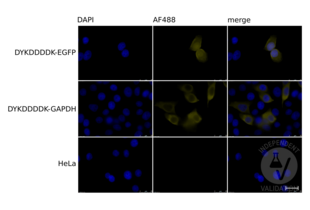 Immunofluorescence validation image for anti-DYKDDDDK Tag antibody (ABIN99294)