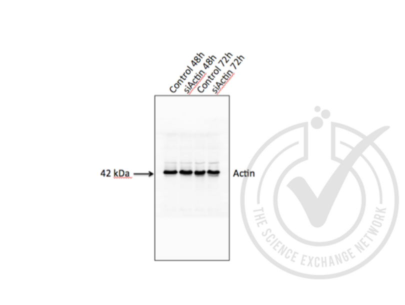 Western Blotting validation image for anti-Actin, beta (ACTB) (AA 2-16) antibody (ABIN1742508)