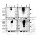 anti-Metabotropic Glutamate Receptor 6 antibody (Glutamate Receptor, Metabotropic 6) (C-Term)