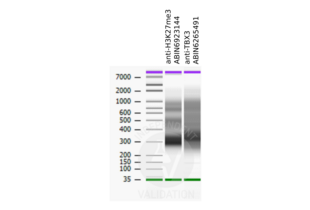 Cleavage Under Targets and Release Using Nuclease validation image for anti-T-Box 3 (TBX3) antibody (ABIN6265491)