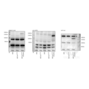 anti-ALPK1 antibody (alpha-Kinase 1) (AA 11-55)