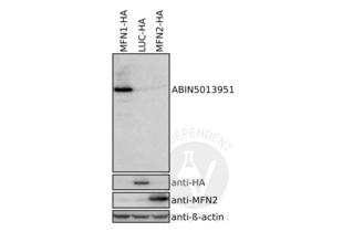 Western Blotting validation image for anti-Mitofusin 1 (MFN1) (AA 1-234) antibody (ABIN5013951)