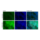 anti-NFKB1 antibody (Nuclear Factor of kappa Light Polypeptide Gene Enhancer in B-Cells 1) (AA 860-969)