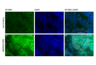 Immunofluorescence validation image for anti-Nuclear Factor of kappa Light Polypeptide Gene Enhancer in B-Cells 1 (NFKB1) (AA 860-969) antibody (ABIN561981)