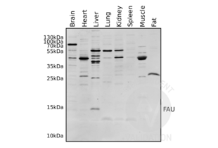 Western Blotting validation image for anti-Finkel-Biskis-Reilly Murine Sarcoma Virus (FBR-MuSV) Ubiquitously Expressed (FAU) (AA 1-30), (N-Term) antibody (ABIN2798885)