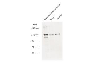 Western Blotting validation image for anti-Chromosome 10 Open Reading Frame 2 (C10ORF2) (Middle Region) antibody (ABIN2775251)