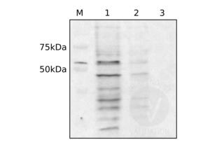 Western Blotting validation image for anti-Dynein, Cytoplasmic 1, Light Intermediate Chain 1 (DYNC1LI1) (C-Term) antibody (ABIN2790248)