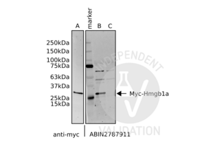 Western Blotting validation image for anti-High Mobility Group Box 1 (HMGB1) (N-Term) antibody (ABIN2787911)