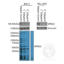 anti-SPNS2 antibody (Spinster Homolog 2 (Drosophila)) (N-Term)