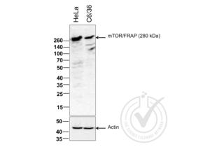 Western Blotting validation image for anti-Mechanistic Target of Rapamycin (serine/threonine Kinase) (mTOR) (AA 2436-2492) antibody (ABIN676403)
