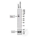 anti-MYCN Antikörper (N-Myc Proto-Oncogene Protein) (AA 410-464)