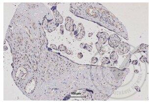 Immunohistochemistry validation image for anti-Tumor Necrosis Factor (Ligand) Superfamily, Member 9 (TNFSF9) (AA 200-250) antibody (ABIN705056)