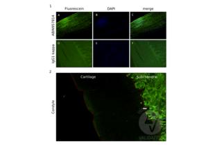 Immunofluorescence validation image for anti-Collagen, Type I (COL1) antibody (ABIN957814)