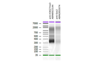 Cleavage Under Targets and Release Using Nuclease validation image for CUT&RUN Positive Control (ABIN6923144)