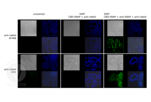 Immunofluorescence validation image for Goat anti-Rabbit IgG (Heavy & Light Chain) antibody (FITC) - Preadsorbed (ABIN101988)