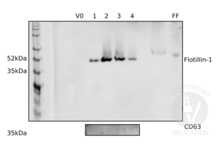 Western Blotting validation image for anti-CD63 (CD63) (AA 120-175) antibody (ABIN1440014)