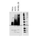 anti-CD63 anticorps (CD63 Molecule) (AA 120-175)