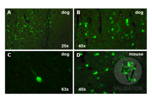 Immunohistochemistry validation image for anti-Calbindin 2 (CALB2) (Center) antibody (ABIN2855596)