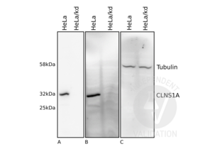 Western Blotting validation image for anti-Chloride Channel, Nucleotide-Sensitive, 1A (CLNS1A) antibody (ABIN933127)