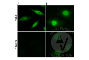 Immunofluorescence validation image for anti-Chloride Channel, Nucleotide-Sensitive, 1A (CLNS1A) antibody (ABIN933127)