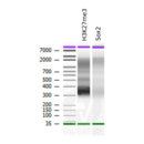 anti-SOX2 Antikörper (SRY (Sex Determining Region Y)-Box 2) (Center)