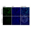 anti-TLR9 antibody (Toll-Like Receptor 9) (AA 868-1016)