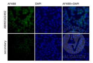 Immunofluorescence validation image for anti-Toll-Like Receptor 9 (TLR9) (AA 868-1016) antibody (ABIN5542492)
