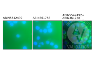 Proximity Ligation Assay validation image for anti-Toll-Like Receptor 9 (TLR9) (AA 868-1016) antibody (ABIN5542492)
