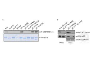 Western Blotting validation image for anti-Tumor Protein P53 (TP53) (meLys370) antibody (ABIN4902067)