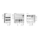 anti-ALPK1 antibody (alpha-Kinase 1) (N-Term)