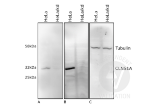 Western Blotting validation image for anti-Chloride Channel, Nucleotide-Sensitive, 1A (CLNS1A) antibody (ABIN4903315)