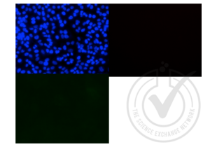 Immunofluorescence validation image for anti-mCherry Fluorescent Protein antibody (ABIN1760652)