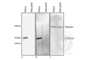 Western Blotting validation image for anti-Chloride Channel, Nucleotide-Sensitive, 1A (CLNS1A) antibody (ABIN2994159)