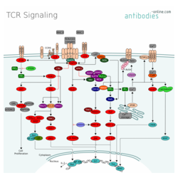 T-Zell Rezeptor Signalweg