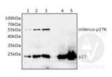 Western Blotting validation image for anti-P27 antibody (ABIN3025539)