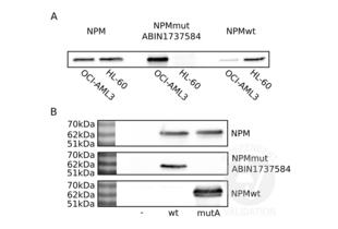 anti-Nucleophosmin (Nucleolar phosphoprotein B23, Numatrin) (NPM1) (AA 250-298), (C-Term) antibody