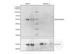 Western Blotting validation image for anti-Sperm Associated Antigen 4 (SPAG4) antibody (ABIN4368846)