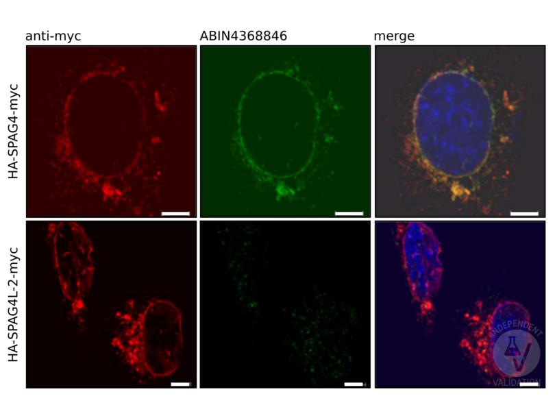 Immunocytochemistry validation image for anti-Sperm Associated Antigen 4 (SPAG4) antibody (ABIN4368846)